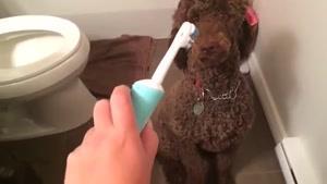 مسواک زدن سگ خانگی