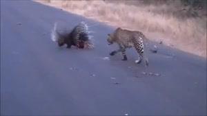 حمله پلنگ به جوجه تیغی