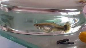 زایمان ماهی