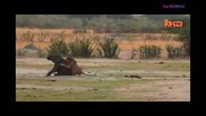 شکار فیل توسط شیر