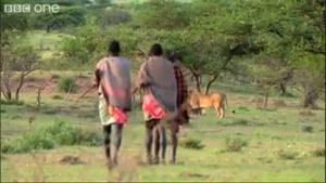 وقتی شیرها از انسان میترسند..