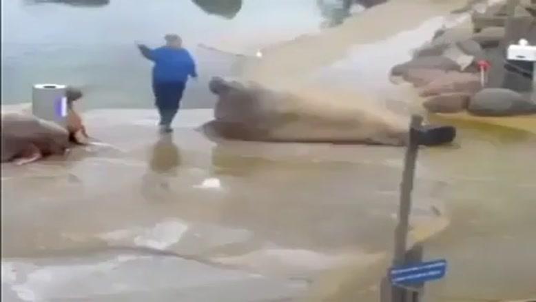 شیر دریایی که دراز نشست میره