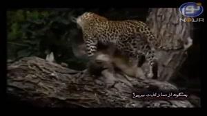 مهربانی حیوانات وحشی در هنگام شکار