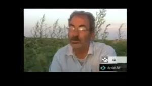 کشت بادنجان در یزد