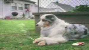 کلیپ جالب یک سگ سیگاری