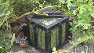 هندوانه های مکعبی صادراتی کشور ژاپن