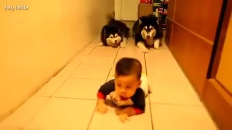 تقلید سگهای نژاد هاسکی از کودک