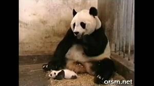 بچه پاندایی که مادرش را به شدت می ترساند