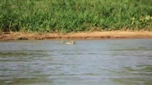 شکار شدن تمساح توسط پلنگ