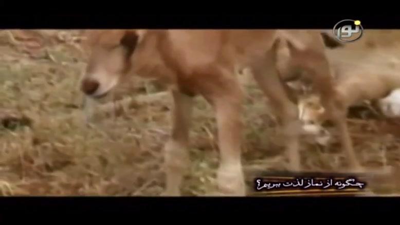 تصاویری عجیب، نگه داری شیر از بچه غزال
