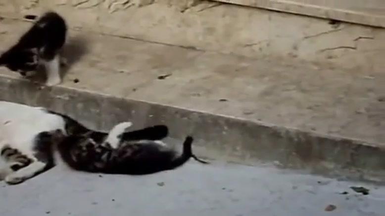 شیطنت گربه