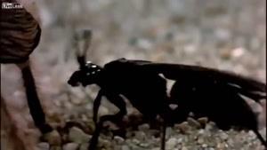 مبارزه ی رتیل با سوسک سیاه (نینجا)