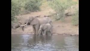 درگیری فیل و تمساح