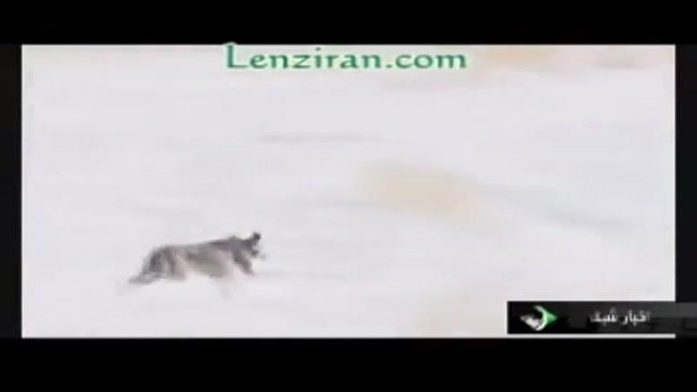 شکار روباه بوسیله ی عقاب