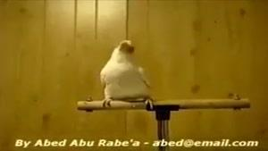 رقصیدن طوطی کاکادو باحال