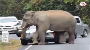 فیل مست