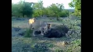 ترسیدن شیر از یک گورکن کوچک