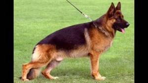 ۱۰ تا از قویترین نزاد سگ ها در دنیا