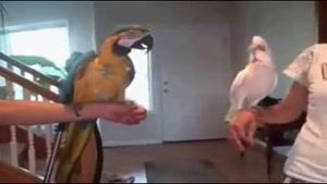 رقص طوطی