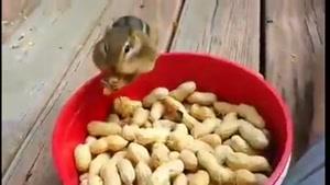 ببین سنجاب چطور غذا جمع میکنه