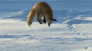 شکار روباه در برف