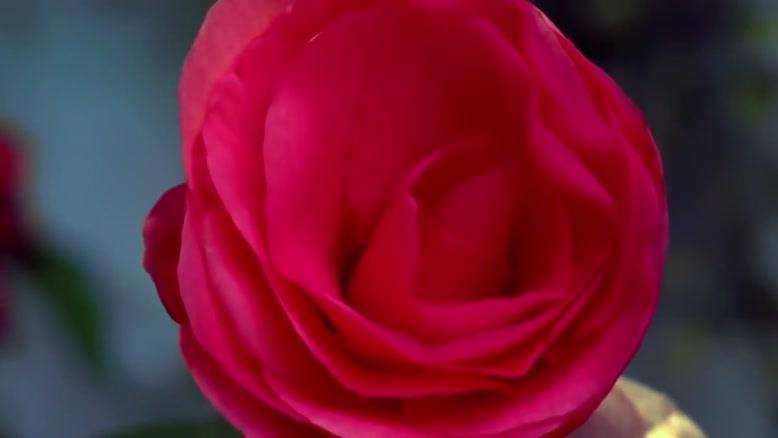 لحظه باز شدن گلها