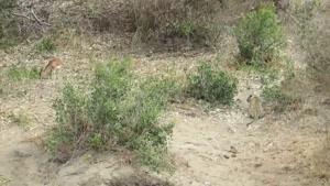 شکار آهو توسط پلنگ