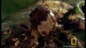 شکار مخوف عنکبوت