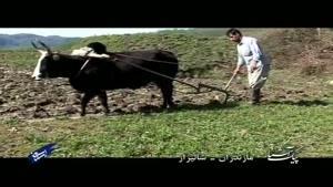 پیک آشنا (مازندران - شالیزار)