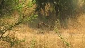 کشتن شیر نر جوان توسط 3 شیر نر بالغ