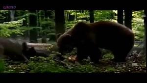 نبرد خرس و گله گرگ ها
