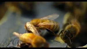زندگی زنبورهای عسل