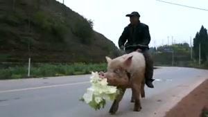 خوک سواری تو خیابون