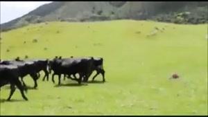 ترس گاوها از ماشین کنترلی