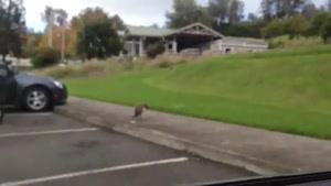 تعجب سگ ها از دیدن دعوای خروس و طاووس