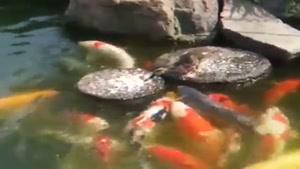 غذا دادن اردک به ماهی ها