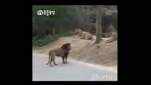 شکست خوردن شیر از ببر!!!!!!!