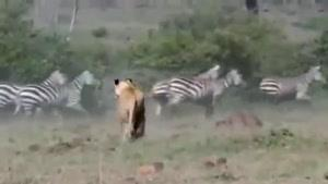 حمله شیر به گور خر