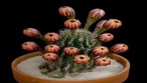 رشد جالب گل کاکتوس