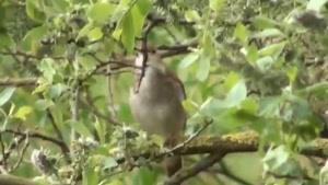 چهچهه ی بلبل ها در طبیعت بهاری
