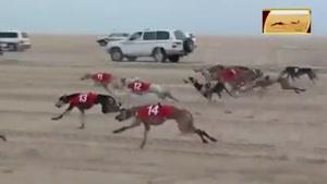 مسابقه سگ ها با لندکروزها