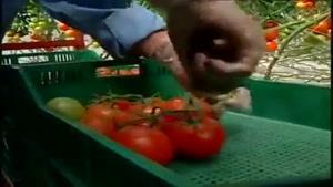 کاشت و برداشت گوجه فرنگی ارگانیک