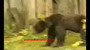 حمله ی غافلگیرانه ی خرس به یک زن !!!