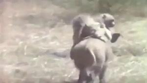 فرار گراز با میمون ها