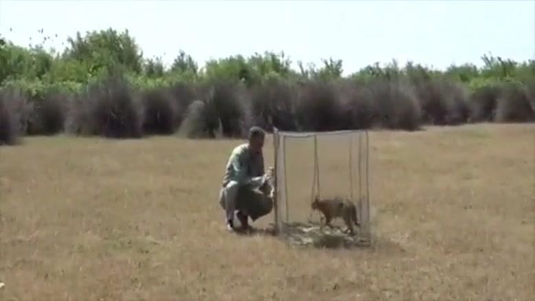 تیمار و رهاسازی گربه جنگلی در بهشهر