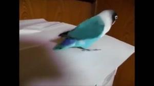 رقص پای پرنده