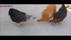 سرکار گذاشتن مرغ ها