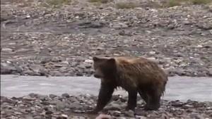 مبارزه خرس با چهار گرگ