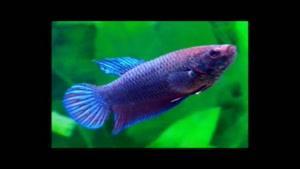 تکثیر ماهی فایتر