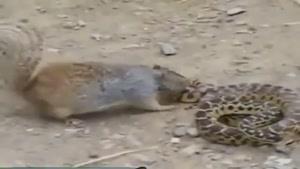 سنجاب و مار کبرا